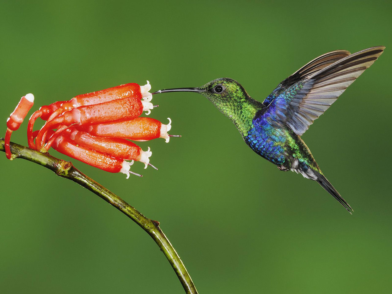 beautiful colibri bird hd - photo #24