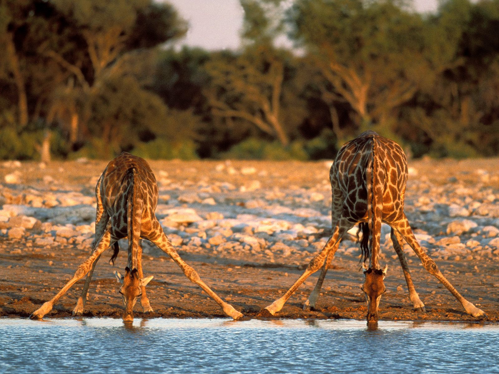 why giraffes don u0027t have brain damage bp u0027s fuel for thought