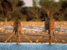 thirsty-giraffes-wallpapers_11420_1600x1200