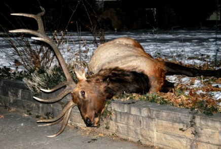 20130102_053131_Dead Elk 1