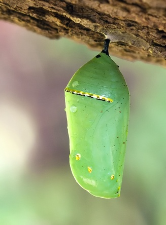 Monarch_Butterfly_Cocoon_6708