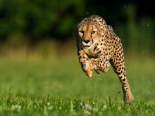 cheetah-world-speed-record-set_57554_600x450