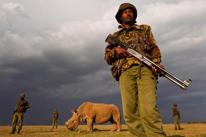 guarding-rhino
