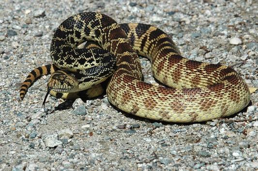 Bull-Snake