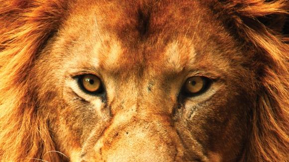 lion-full