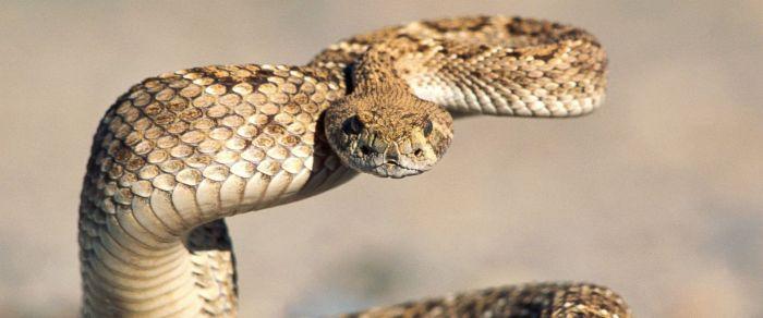 gty_rattlesnake_kab_150611_31x13_1600